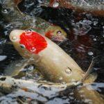 Koi Fish Sales