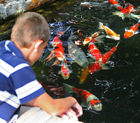 Guppy Club Boy Feeding Koi