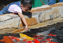 Guppy Club Girl Feeding Koi