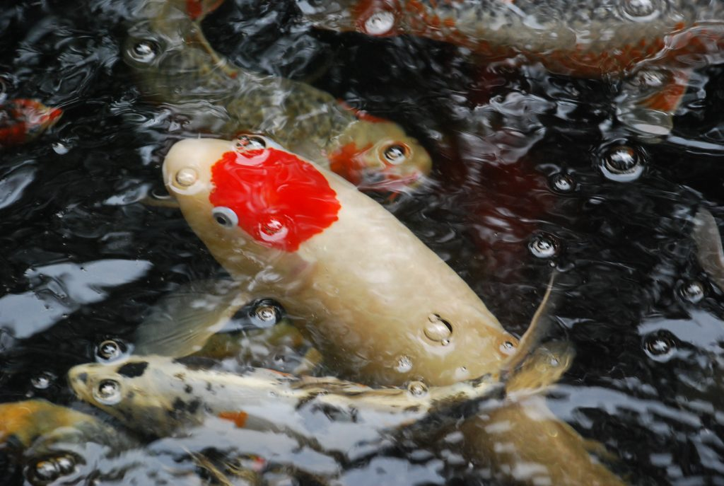 Koi Care Articles