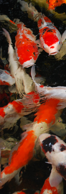 Koi Fish sidebar
